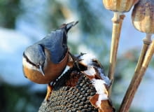 Kowalik, podobnie jak inne ptaki, nie pogardzi słonecznikiem.