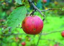 Pokryte plamami lub gnijące jabłka wyrzucajmy w całości, bo toksyny wytworzone przez grzyby znajdują się w całym owocu.