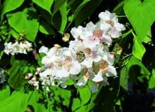 Katalpa zwyczajna(zwana także surmią zwyczajną lub surmią bignoniową) - dorasta do 8-10 m, ma duże, jasnozielone liście i bardzo ładne, białekwiaty, które rozwijają się w lipcu. Dobrze rośnie nawet w piaszczystej glebie