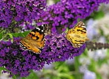 Wspaniały aromat kwiatów budlei zwabia liczne motyle.