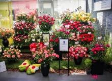 Święto Róży