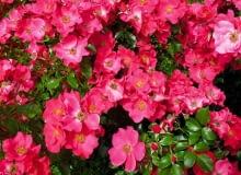 róża okrywowa 'stand rome'