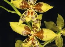 Rossioglossum schlieperianum tworzy wiele kwiatów.