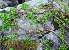 Wierzba alpejska rozwija liście, gdy stopnieje śnieg.