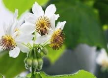Kwiat lipki pokojowej ( Sparmannia africana )