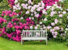 Zdrowe różaneczniki kwitną co roku w maju i czerwcu.