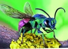Piękna złotolitka nie buduje gniazd dla swojego potomstwa, lecz składa jaja w gniazdach innych owadów.