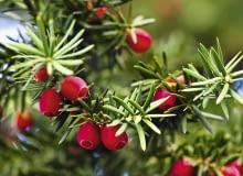 Soczyste owoce są zjadane przez ptaki, które następnie rozsiewają nasiona w sąsiadujących ze sobą ogrodach