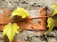 22.09.2005 WARSZAWA ROSLINY PNACZA PARTHENOCISSUS TRICUSPIDATA PRZYLGI