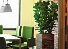 FIGOWIEC LIROLISTNY (Ficus lyrata). Wyróżnia się dekoracyjnymi liśćmi o długości do 50 cm. Jego pęd nie rozgałęzia się i silnie rośnie w górę. W pojemniku ładniej wygląda w grupie. Toleruje słabe oświetlenie.