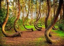 Krzywizna dolnych partii pni powstała, gdy sosny w Krzywym Lesie miały 7 lat.