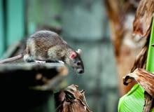 Najczęściej spotykanymi gatunkami są szczur wędrowny (Rattus norvegicus) i szczur śniady (Rattus rattus). Ten pierwszy występuje w całej Polsce, natomiast szczur śniady - w miastach portowych i na zachodzie kraju