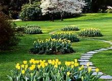 NA PARKOWYM KLOMBIE. Żółte tulipany i niebieskie niezapominajki posadzono na kilku identycznych klombach, pomiędzy którymi wije się ścieżka.