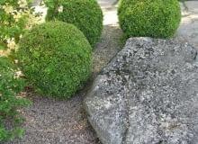 Bukszpan wieczniezielony (Buxus sempervirens)