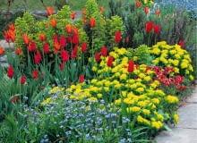 Colourful border of Tulips and Euphorbia polychroma at Great Dixter SLOWA KLUCZOWE: Beet Beete Bepflanzung Blume Cottage Farbe Farben Fr´hling Garten Knolle Knollen Myosotis Raublattgew chse Tulpen Vergissmeinnicht Vergi?meinnicht anpflanzen bepflanzen blau bl´hend bunt einpflanzen gelb rot tulipa quadratisch