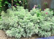 Bylica Schmidta dorasta do wysokości 30 cm i tworzy rozłożyste kępy. Wymaga słonecznego stanowiska.