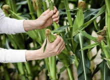 Kukurydzę zbieramy po 3 tygodniach od ukazania się nitek na kolbach