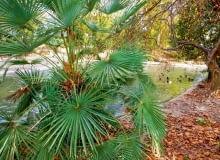 Mocnym zielonym akcentem są dorodne liście palmy szorstkowca Fortunego (Trachycarpus fortunei) -jesienią wspaniale komponują się zprzebarwionymi liśćmi platanów.