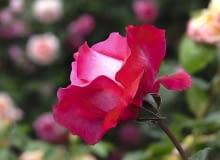 Róże. Odmiana 'Venrosa' - róża wielkokwiatowa o kielichowatych dużych karminowych kwiatach i pięknym zapachu
