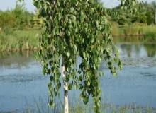 Brzoza pożyteczna 'Long Trunk' (Betula utilis 'Long Trunk')