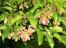 Klon tatarski (Acer tatricum) jest świetny na niewielkie działki
