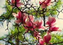 Magnolia zakwita wczesną wiosną - przed rozwojem liści