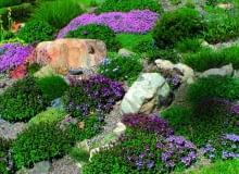 Macierzanki (Thymus) występują w różnych odmianach. Na skalniaku przeznaczamy dla nich słoneczne miejsce.