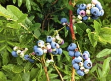 Zbyt gęsto rosnące borówki mogą słabiej owocować.