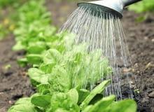 Szpinak wysiewa się w rzędach oddalonych o 20 cm, a rośliny przerywa co 7 cm. Należy je podlewać, odchwaszczać i spulchniać ziemię.