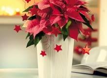 Najważniejszy jest pomysł! Czasami wystarczy kilka prostych dodatków, by zmienić poinsecję w uroczy prezent.