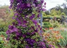 'Étoile Violette' zGrupy Viticella ma kwiaty o4-6 płatkach iśr. 8 cm. Kwitnie: VI-IX, obficie VI-VII. Wspina się do 3 m, sprawdza się też jako roślina kobiercowa. Wymaga silnego cięcia.