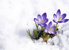 krokus, szafran, wiosna