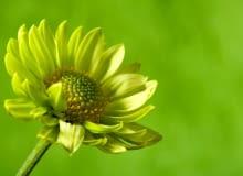 Wybieramy piękne kwiaty wiosenne na rabatę w kolorze zielonym - siew, stanowisko, rozmnażanie