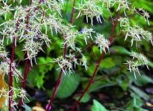 Kwiaty skalnicy zarzyczkolistnej są atrakcją jesiennego ogrodu. Roślina jednak ma mało czasu na przygotowanie się do zimy. Wczesny mróz może jej zaszkodzić.