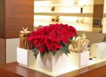 Stroiki bożonarodzeniowe. Gwiazda betlejemska