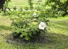 Ziemię pod różami można podsypywać nawet ścinkami skoszonej trawy, która po rozłożeniu się wzbogaci podłoże w próchnicę.