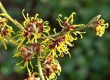 Kwiaty o długich płatkach wyrastają po kilka, na krótkopedach powstałych w ubiegłym roku.