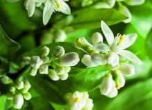 WIOSNA: Coraz dłuższe dni sprawiają, że na gałązkach pojawiają się nowe liście, a wraz z nimi białe słodko pachnące kwiaty (ok. 3 cm średnicy).