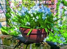 Cebulica syberyjska (Scilla sibirica) zakwita wczesną wiosną