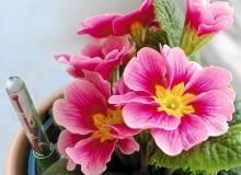 Metodą hydroponiczną możemy uprawiać zarówno gatunki kwitnące, jak i te o dekoracyjnych liściach