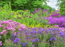 @Asters provide the foundation to the colourful autumn flower bed