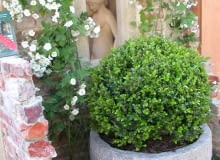 Aby bukszpany zachowały ładny kształt, warto je formować 2-3 razy w sezonie, ostatni raz w połowie sierpnia. Młode przyrosty mają jaśniejszą zieleń.