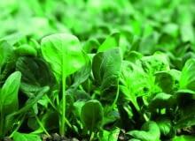 Siewki powinny rosnąć co 10cm, bo zagęszczone łatwo gniją. Chore należy usuwać.