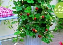 Truskawka na... postumencie to rozwiązanie dla sybaryty - nie trzeba się schylać, by skosztować owoców. Podobny efekt uzyskamy, sadząc roślinę w wysokiej donicy.