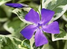 Kwiaty i liście barwinka większego są bardziej okazałe niż barwinka pospolitego. Na zdjęciu: odmiana ?Variegata?