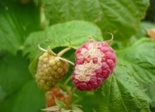 Odbarwienia obejmują część owocu, szypułka i liście są zdrowe.