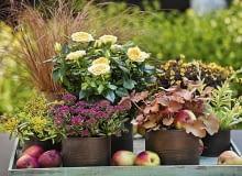 Jesienią na balkonach efektownie wyglądają ogrodowe rośliny, np. żurawki, miniaturowe róże, szczawiki, trawy turzyce i sukulenty.