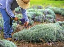 Starsza kępa lawendy. Aby otrzymać tak gęste rośliny, trzeba je corocznie przycinać.
