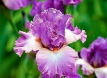 Irysy bródkowe kwitną zazwyczaj w czerwcu. Przesadzamy i dzielimy je w lipcu i sierpniu.