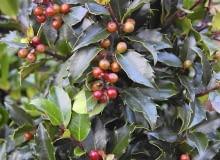 Ostrokrzew Meservy ma ozdobne zimą liście i owoce.